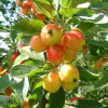 Decorative Malus John Downie-thumbnail