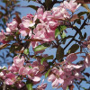 Decorative Malus Kadetti-thumbnail