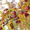 Decorative Malus Makamik-thumbnail