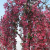 Decorative Malus Royal Beauty-thumbnail
