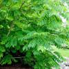 Mantsurianjalopähkinä Juglans mandshurica-thumbnail
