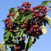 Pihlaja (Marjapihlaja) Sorbus dessertnaja-thumbnail