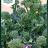Brassica oleracea 'Apollo F1'-thumbnail