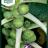 Brassica oleracea 'Masterline F1'-thumbnail