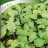 Lehtikaali 'Lord Kale'-thumbnail