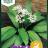 Allium Ursinum-thumbnail