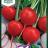 Radish 'Saxa 2'-thumbnail