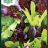 Lettuce 'Baby Leaf mix'-thumbnail