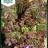 Lettuce 'Amerikanicher brauner'-thumbnail