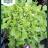 Lettuce 'Salad Bowl'-thumbnail