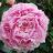Kiinanpioni - Paeonia (LD) 'Sarah Bernhardt'-thumbnail
