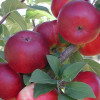 Summer Malus Domestica