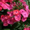 Syysleimu - Phlox paniculata 'Flame Coral'-thumbnail
