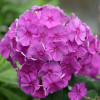 Syysleimu - Phlox paniculata 'Flame Lilac' Tuotekuva