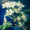 Prunus Pensylvanica-thumbnail