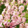 Prunus triloba-thumbnail