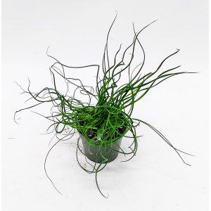 Kierreröyhyvihvilä (Spiraaliheinä) n. 16 cm Tuotekuva