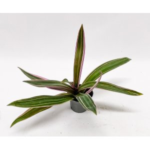 Tradescantia spathacea about 20 cm T_PRODUCT_IMAGE