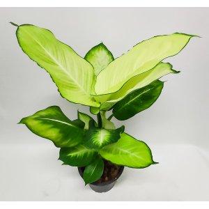 Dieffenbachia Tropic Marianne n. 65 cm UUTUUS! Tuotekuva
