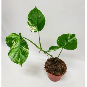 Peikonlehti monstera variegata n. 55 cm Tuotekuva