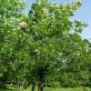 Punasaarni Fraxinus pennsylvanica-thumbnail