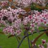 Purppuratuomi Prunus padus 'Colorata'-thumbnail