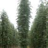Pihlaja (Pylväspihlaja) Sorbus aucuparia 'Fastigiata'-thumbnail