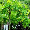 Riippahernepuu Caragana arborescens 'Pendula' -thumbnail