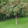 Pihlaja (Riippapihlaja) Sorbus aucuparia Pendula-thumbnail