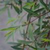 Riippapunapaju Salix purpurea 'Pendula'-thumbnail