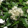 Pihlaja (Ruotsinpihlaja) Sorbus intermedia-thumbnail