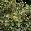 Pihlaja (Saksanpihlaja) Sorbus aria-thumbnail