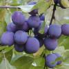Luumu Prunus domestica Sinikka Tuotekuva