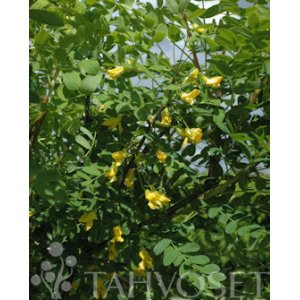 Caragana arborescens fence package 10/pkg T_PRODUCT_IMAGE
