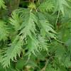 Sulkaharmaaleppä Alnus incana f. laciniata-thumbnail