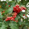 Pihlaja (Taatanpihlaja) Sorbus x thuringiaca 'Fastigiata'-thumbnail