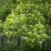 Tataarivaahtera Acer tataricum-thumbnail