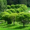 Terijoensalava Salix fragilis 'Bullata'-thumbnail