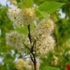 Tuohituomi Prunus maackii-thumbnail