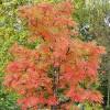 Pihlaja (Tuurenpihlaja) Sorbus ´Dodong´-thumbnail