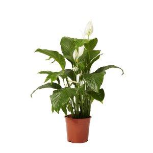 Viirivehka (Spathiphyllum alana) p 12 Tuotekuva