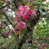 Decorative Malus Wabiskaw-thumbnail